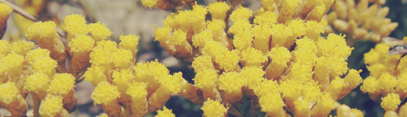 Helichrysum_italicum_1320x380